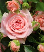 Light Pink Spray Garden Roses