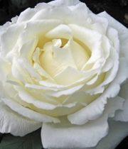 Rose Garden, Vitality-SA