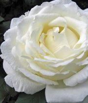 Vitality Garden Rose, SA