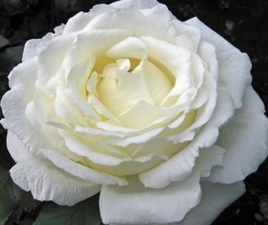 wholesale flowers | garden rose vitality