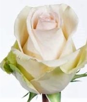 Blush La Perla Roses, CA