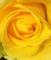 Rose, Penny Lane-CA