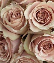 Rose, Quicksand-CA