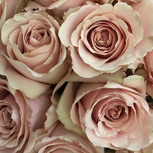 wholesale flowers | rose quicksand
