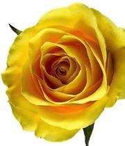 Rose, Yellow Moon-CA