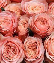 Rose, Kahala-SA