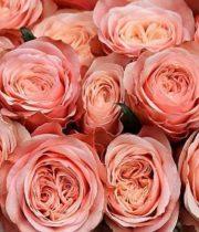 Roses Kahala Peach