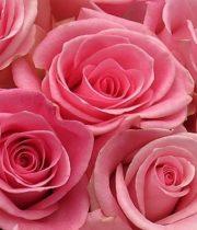 Rose, Light Orlando-SA