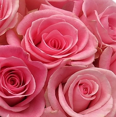 wholesale flowers | rose orlando