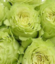 Rose, Lemonade-SA