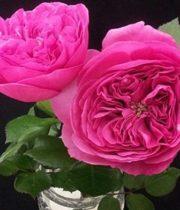 Rose Garden, Baronesse-SA