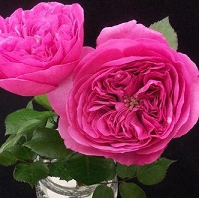 wholesale flowers | garden rose baronesse