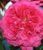 Capability David Austin Garden Rose, SA