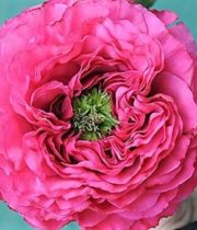 Rose Garden, Princess Kishi-SA