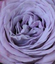 Rose Garden, Lavender Bouquet-SA