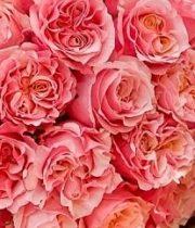 Rose Garden, Mayra's Peach-SA