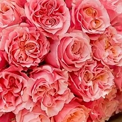 wholesale flowers | garden rose  mayra peach