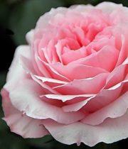 Rose Garden, Mayra's Bridal-SA