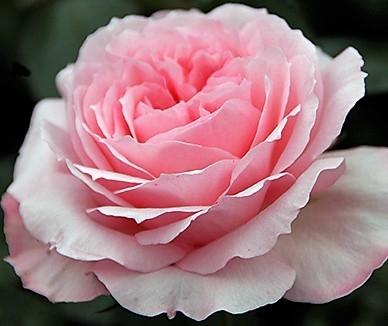 wholesale flowers | garden rose mayra pink