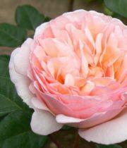 Rose Garden, Princess Charlene-SA