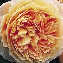 Buy fresh and stunning peach Expression garden roses online