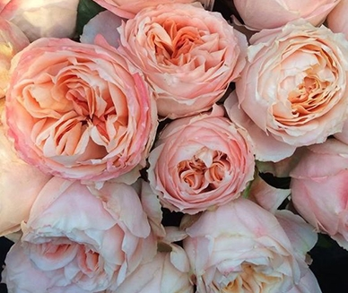 Buy fresh and stunning peach Princess Sakura garden roses online
