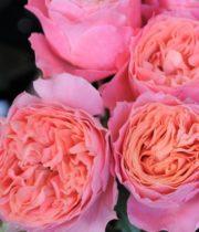 Rose Garden, Rosa She Loves Me-SA