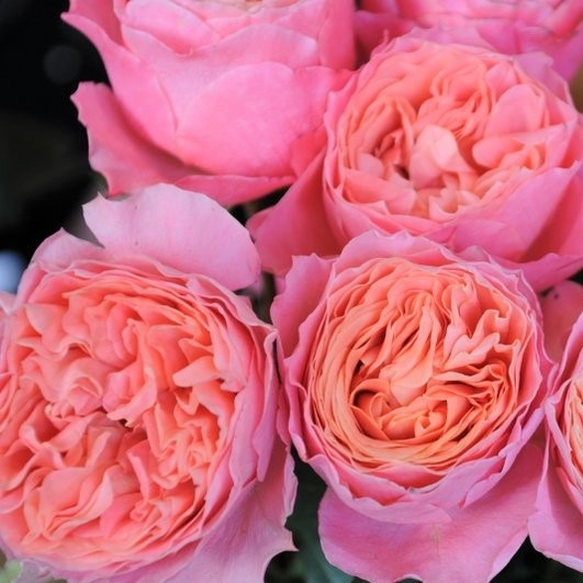 wholesale flowers | garden rose rosa