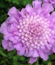 Scabiosa-lavender