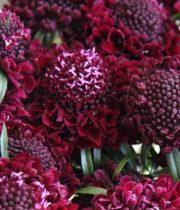 Scabiosa, Raspberry Scoop-red
