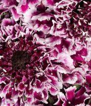 Scabiosa, Van Scoop-purple/white