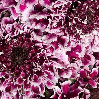 wholesale flowers   scabiosa cherry