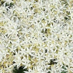 Wholesale Flowers | Sedum White