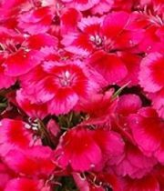 Sweet William-coral