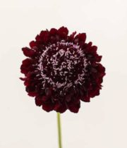 Scabiosa, Blackberry Scoop-black