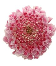 Scabiosa, Cotton Candy Scoop-pink