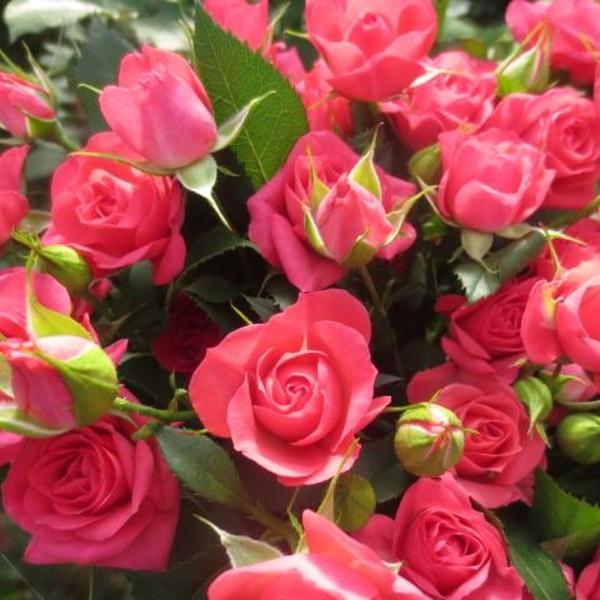 Sweet Paradise Spray Rose