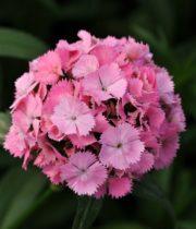 Sweet William-light Pink