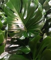 Monstera Leaves, Medium