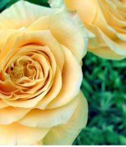 Rose, Turtle-SA