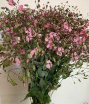 Saponaria-pink