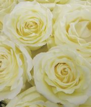 Rose Garden, Vitality-CA