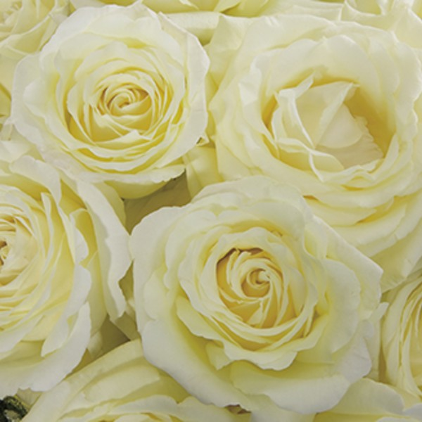 Vitality Rose