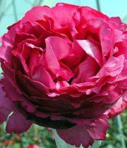 Rose Garden, Yves Piaget-SA
