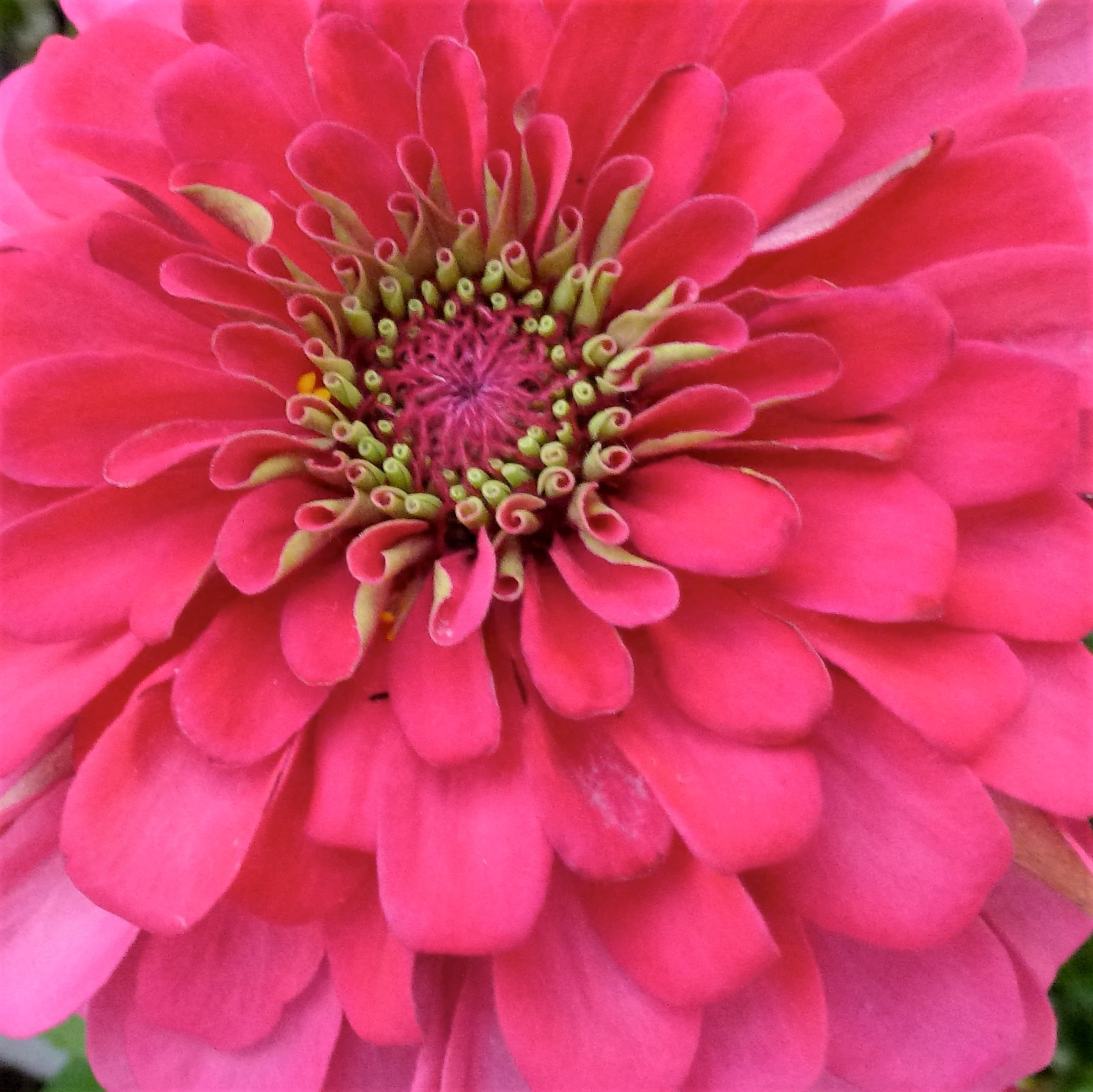 Hot Pink Zinnia, Summer Flowers For Events