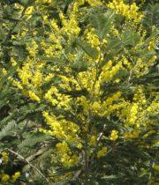 Acacia, Mimosa-yellow