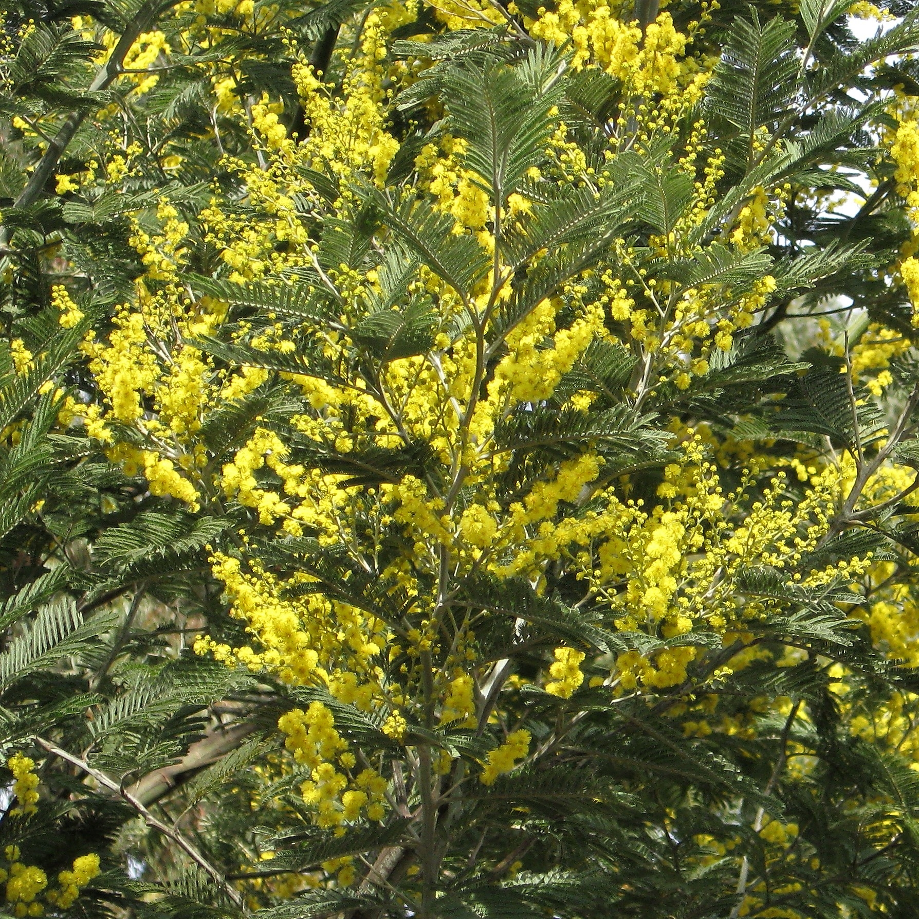 Buy Beautiful Yellow Mimosa Acacia Greenery online Today!
