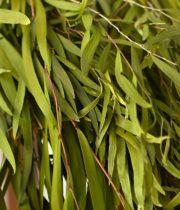 Agonis-green