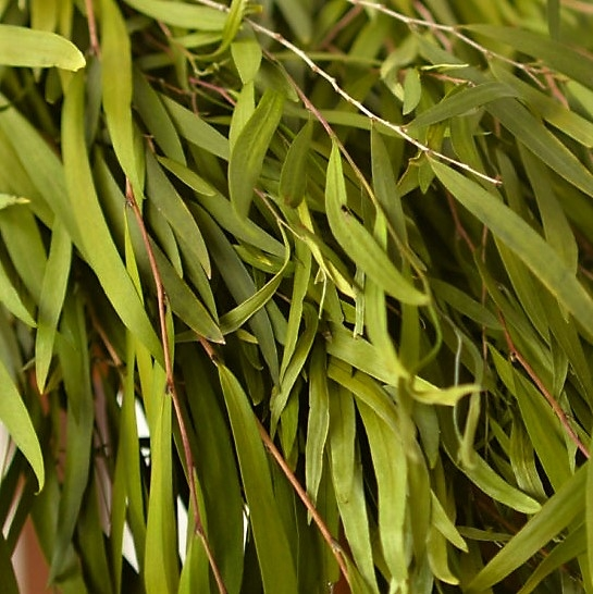 Buy Fresh Green Agonis Greenery Stems online Today!