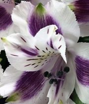 Alstroemeria-purple & White